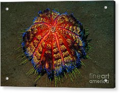 Acrylic Print featuring the photograph Fire Sea Urchin by Sergey Lukashin