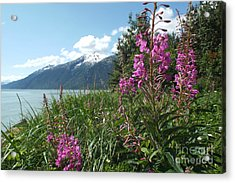 Fireweed At Yakutania Point Acrylic Print