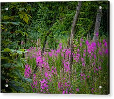 Fireweed In The Irish Countryside Acrylic Print