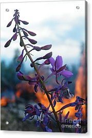 Fireweed Number Five Acrylic Print