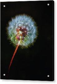 Firework Dandelion Acrylic Print by Bill Tiepelman