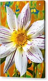 Fireworks Dahlia White And Pink Acrylic Print by Garry Gay