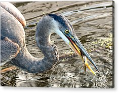 First Catch Of The Day - Blue Heron Acrylic Print by Doug Underwood