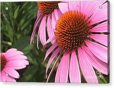 First Cone Flower Acrylic Print by Cheryl Hardt Art