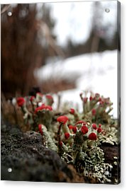 First Lichen Blossom Of The Year Acrylic Print by Steven Valkenberg