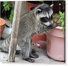 First Look At Baby Coonie Acrylic Print by Kym Backland