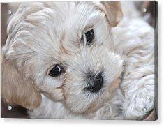 First Puppy Portrait Acrylic Print