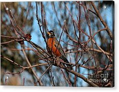 First Robin Of 2013 Acrylic Print by Marjorie Imbeau