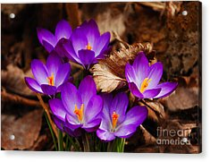 First Signs Of Spring Acrylic Print by Elaine Manley
