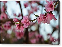 First Spring Blossoms Acrylic Print