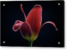 First Tulip Acrylic Print