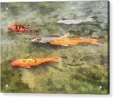 Fish - School Of Koi Acrylic Print