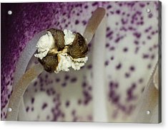 Fist Or Puff Ball Acrylic Print by Robert Culver