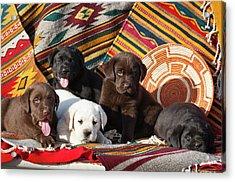 Five Labrador Retriever Puppies Of All Acrylic Print