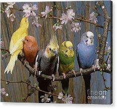 Five Parakeets Budgies Acrylic Print by Hans Reinhard