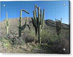 Five Saguaros At Saguaro National Park Az  Acrylic Print by Brian Lockett