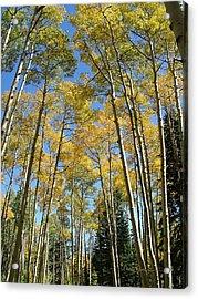 Flagstaff Aspens 794 Acrylic Print