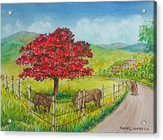 Flamboyan And Cows In Western Puerto Rico Acrylic Print