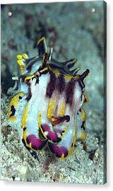 Flamboyant Cuttlefish Acrylic Print by Scubazoo/science Photo Library
