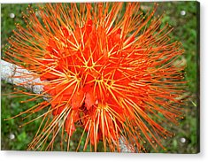 Flame Of Panama Flower (brownea Acrylic Print by William Sutton