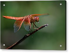 Flame Skimmer Dragonfly Acrylic Print