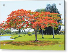 Flame Tree Acrylic Print