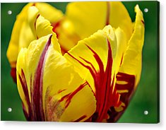 Flame Tulip Acrylic Print by Kjirsten Collier