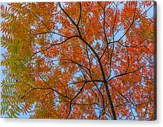 Flameleaf Sumac Mostly Changed From Green To Red Acrylic Print
