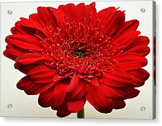 Flaming Red Zinnia Acrylic Print by Sherry Allen