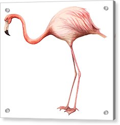 Flamingo Acrylic Print by Anonymous