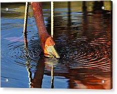 Flamingo Close Up Acrylic Print by Dave Dilli