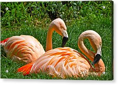 Flamingo Duo Acrylic Print by Eve Spring