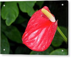 Flamingo Flower Or Tail Flower Acrylic Print by Nigel Downer
