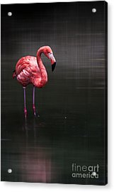 Flamingo  Acrylic Print by Hannes Cmarits