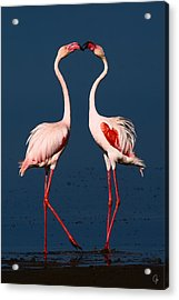 Flamingo Heart Acrylic Print by Jeppsson Photography
