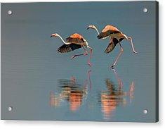 Flamingo Landing Acrylic Print by Yun Wang