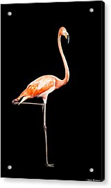 Flamingo On Black Acrylic Print