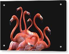 Flamingoes Against Black Background Acrylic Print by Nodar Chernishev / EyeEm