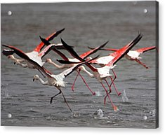 Acrylic Print featuring the photograph Flamingoes In Flight by Dennis Cox WorldViews