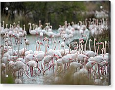 Flamingoes In Swamp Acrylic Print by Raffi Maghdessian