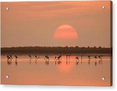 Flamingos At Sunrise Acrylic Print