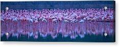 Flamingos Acrylic Print by David Hua
