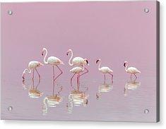 Flamingos Acrylic Print by Eiji Itoyama