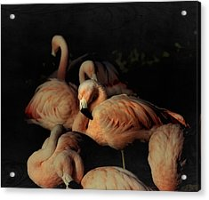 Flamingos In Repose Acrylic Print