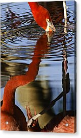 Flamino Reflections 1 Acrylic Print by Dave Dilli