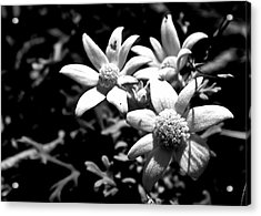 Acrylic Print featuring the photograph Flannel Flower by Miroslava Jurcik