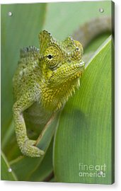 Acrylic Print featuring the photograph Flap-necked Chameleon by Chris Scroggins