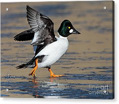Flap Of A Goldeneye Acrylic Print