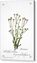 Fleabane Acrylic Print