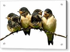 Fledglings Acrylic Print by Liz  Alderdice